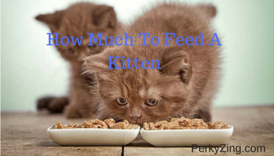 How much to feed a kitten
